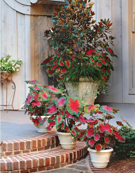 Magnolia Spider Plant- Caladiums Gardening Ideas