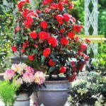 DIY-camellia-in-pot (2)