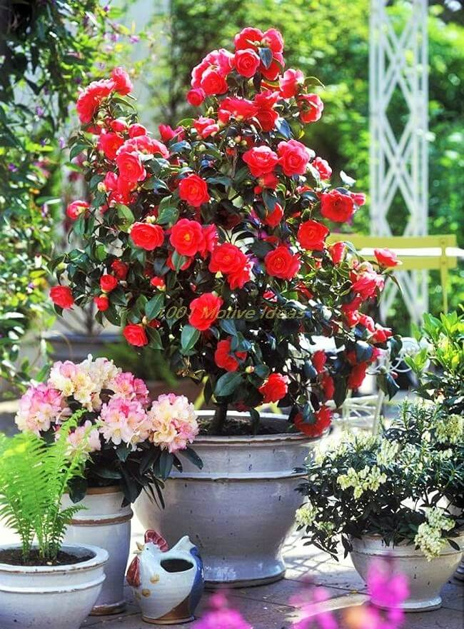 DIY-camellia-in-pot (2)