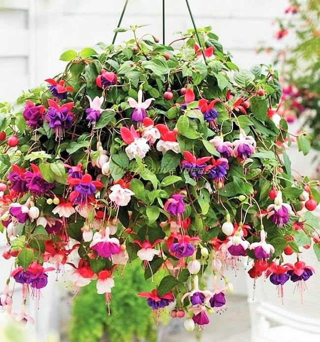 DIY-fuchsia-in-hanging-basket (2)