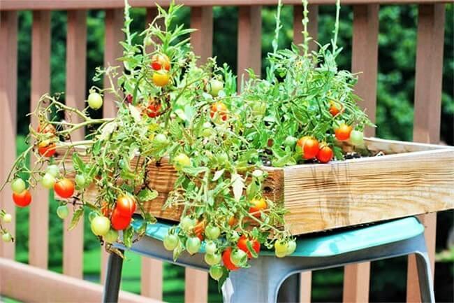 Gardening-cherry-tom-in-salad- (2)