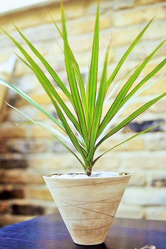 dragon-plant (3)