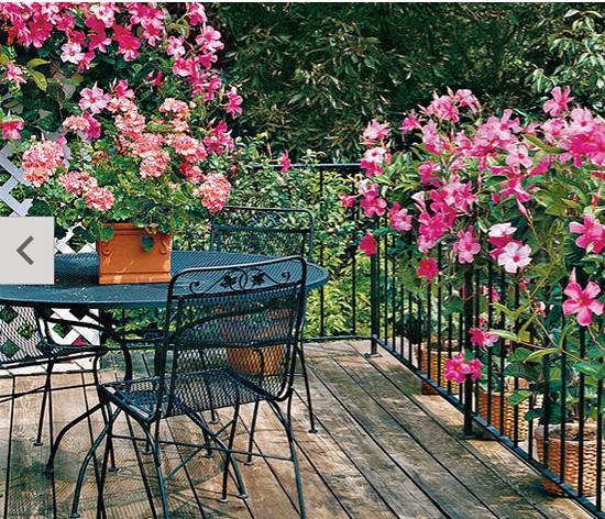 Mandevilla-Gardening Ideas