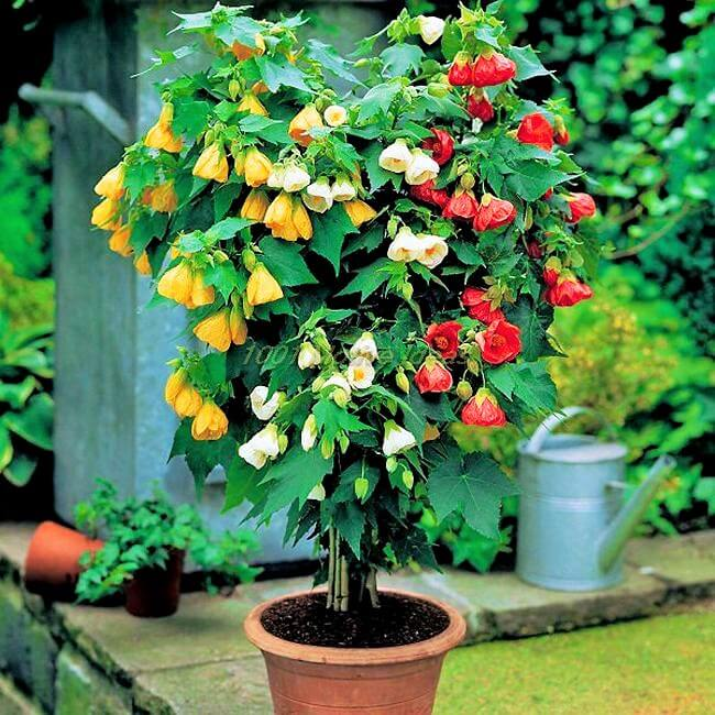 DIY-Abutilon-in-pot