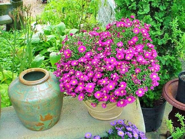DIY-Aster-in-Pot_2 (2)