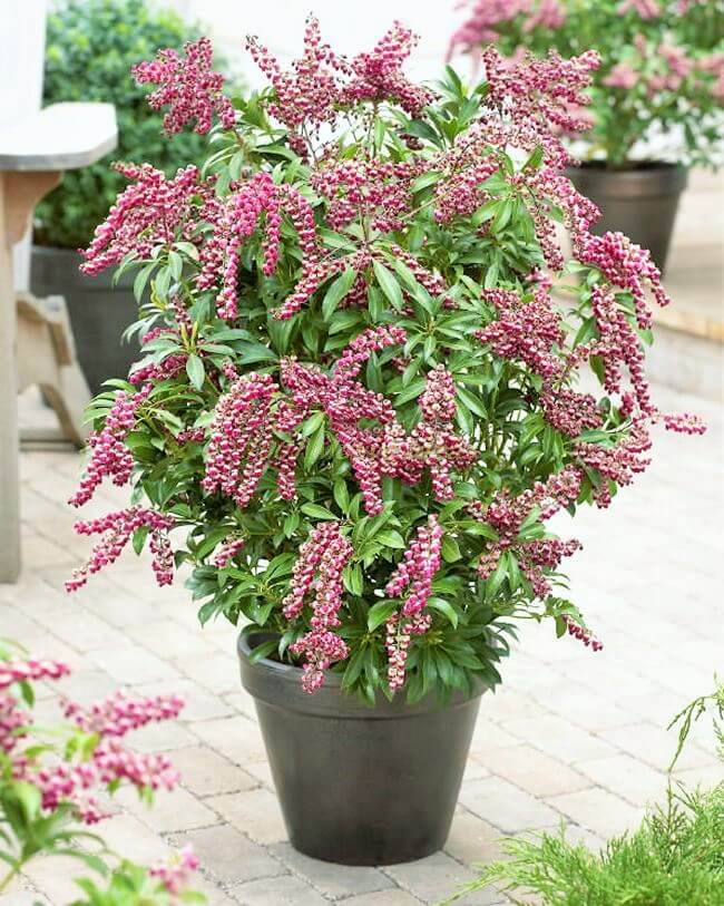 DIY-Japanese-Pieris-Passion-(2)