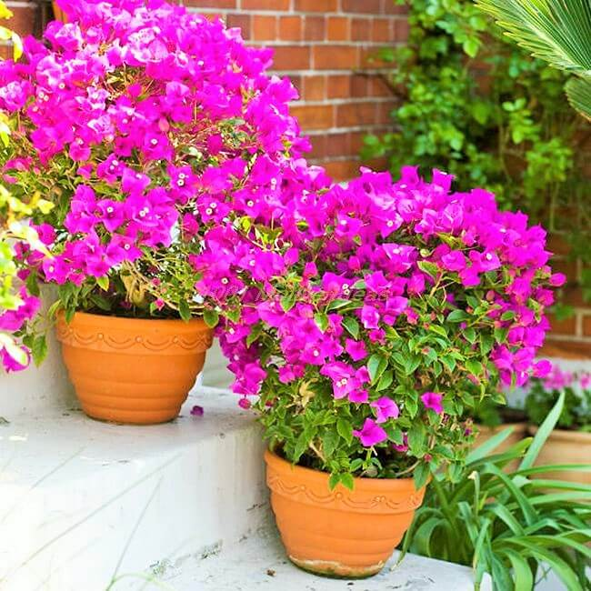DIY-bougainvillea-in-pot