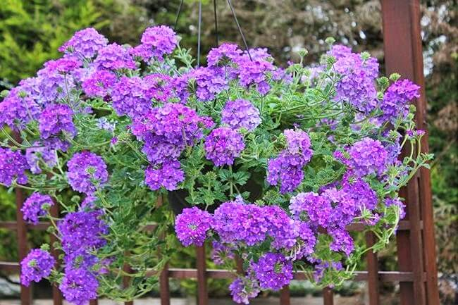 DIY-verbena-in-hanging-basket (2)